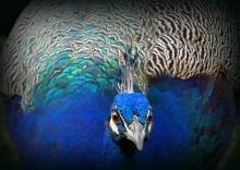 Peacock by Helene Boily, Banbury Camera Club