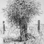 Ivy Post: Charcoal drawing of an ivy covered post in Steventon Copse Oxfordshire. Accepted for exhibiting in Bath Society of Artists Open Exhition 2019